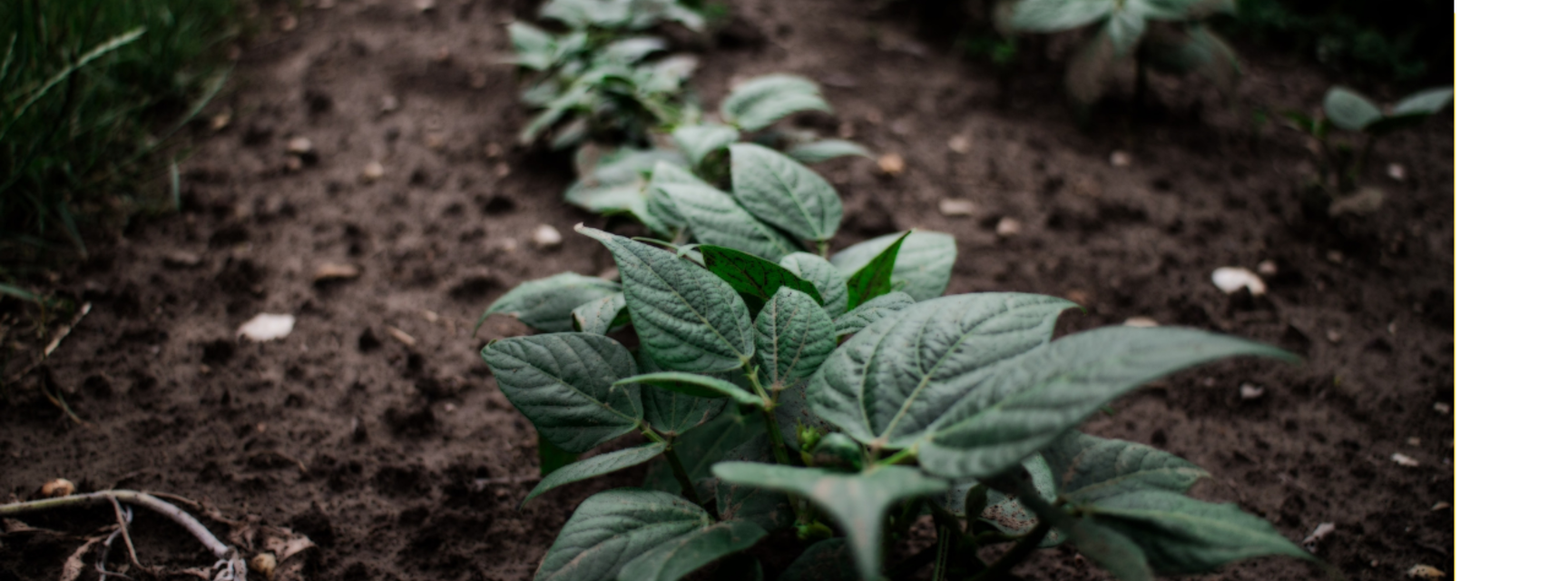 Photo of rows of vegetable tops emerging from the soil