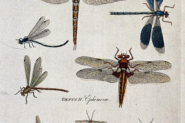 drawings of different mayflies - early scientific illustration style