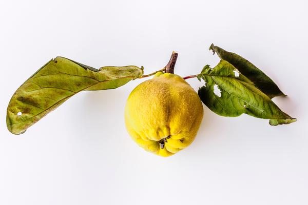 quince fruit alexander schimmeck pic
