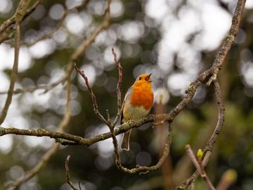Red breasted robin singing on a branch, background of trees is blurry