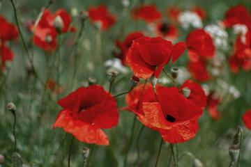 Red poppies, green field