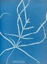 atkins asplenium chinensis 1853 courtesy the j paul getty museum la 1